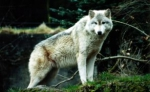 white-wolf-wallpaper-tags-gray-wolves-baby-wolves-nature-grass-wolves-87529 - Вечер Елабуги